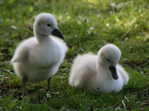 Swan Ducklings